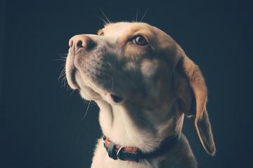 Portrait of a dog. Beagle. studio shot on dark background