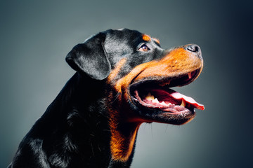 Portrait of a dog. Rottweiler . studio shot on dark background