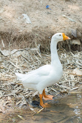 White goose by a river in Thailand