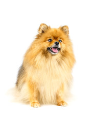 Pomeranian dog looking for something isolated on white backgroun