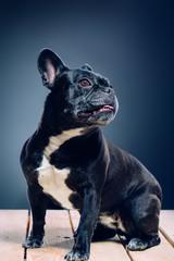 Portrait of a dog. French bulldog.studio shot on dark background