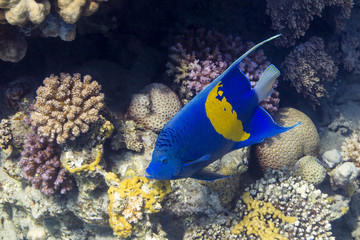 Blauer Sichel-Kaiserfisch in Red Sea, Egypt