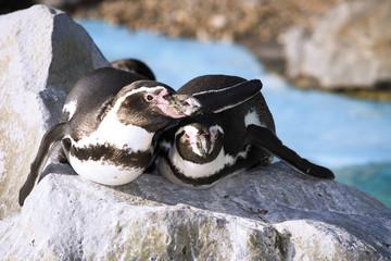 Deutschland, Köln, Humboldt Pinguins in zoo