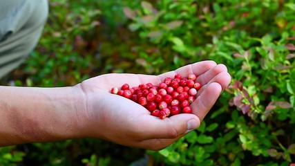 Hand with fresh cranberries in forest in august