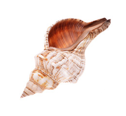 Rapana shell isolated on white background. Close-up view..