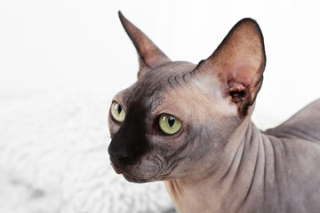 Beautiful gray sphinx cat on carpet in room