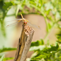 Dragonfly sitting on a wooden stick