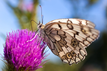 Butterfly on a flower drink nectar