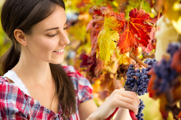 woman harvesting grape