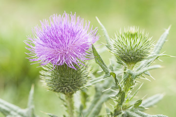 Blossoming Burdock