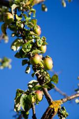 Bio Apfel Baum