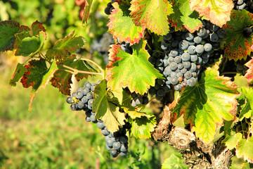 Harvesting grape