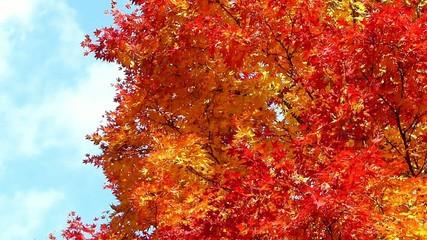 青空と美しい紅葉の木