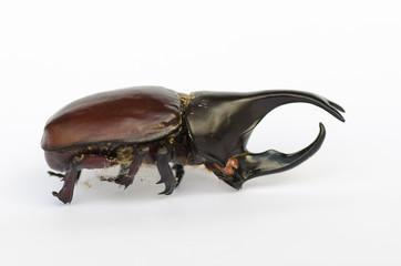 Rhinoceros beetle, Rhino beetle