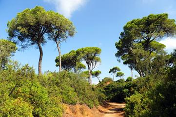 Pine grove, Mediterranean forest, Puerto Real, Cadiz, Spain