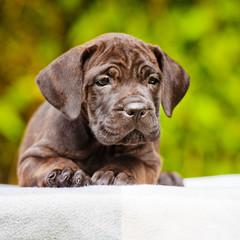 cute brindle cane corso puppy