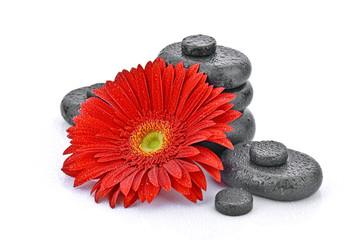 Gerbera z kamieniami bazaltowymi na białym tle