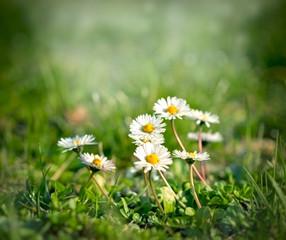 Soft focus on daisy