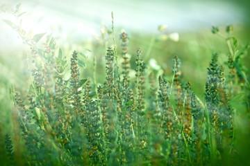 Green flower illuminated with morning sun rays