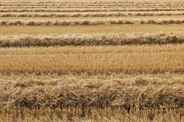 Newly harvested wheat field.