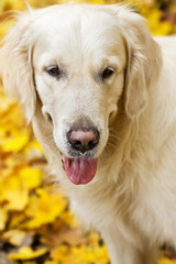 Golden labrador retriever with protruding tongue is in autumn pa