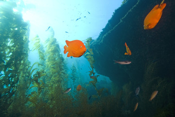 Garibaldi fish reef wideangle