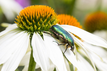 Goldsmith Beetle On Echinacea Purpurea Alba