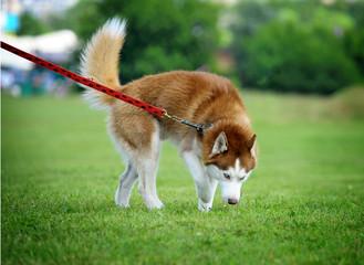 husky walk