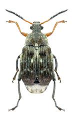 Beetle Bruchus rufimanus