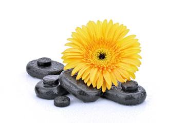 Żółta gerbera z kamieniami bazaltowymi