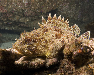 California Scorpion fish