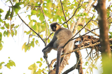 Capped Langur (Trachypithecus poliocephalus) in India