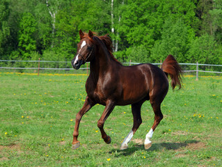 Galloping pure-bred Arabian horse