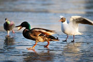 duck on the ice in winter