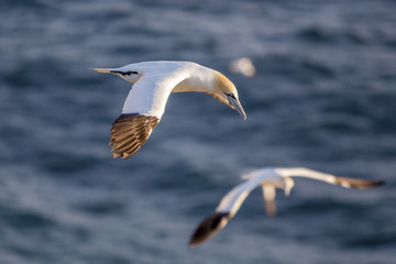 Northern gannets in flight, Cape St. Mary 's, Newfoundland