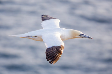 Northern gannet in flight, Cape St. Mary 's, Newfoundland