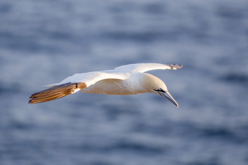 Nortthern gannet in flight, Cape St. Mary 's, Newfoundland