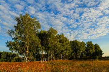 meadow with a view of the birch in the background