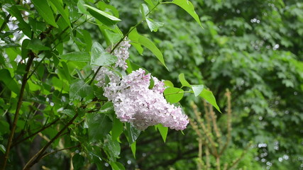 Wet lilac tree blooms closeup after rain water drops fall