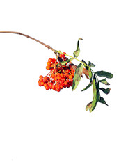 Rowan branches with bright berries isolated
