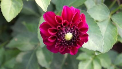 Rot/Lila Blume im Wind