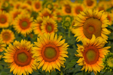 beautiful closeup sunflowers