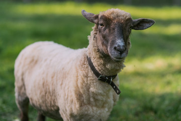 Sheep with collar