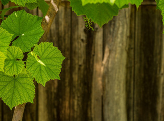 Fresh green leaves of grapes on wood background