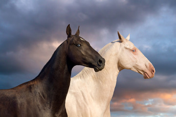 Two akhal-teke horse portrait
