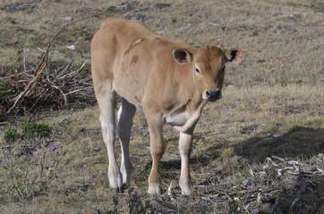 Joven ternera nos mira desde el seco prado