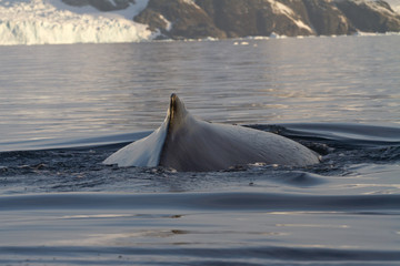 back  and fin and humpback whales in Antarctic waters