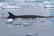 spin and fin whale Minke which surfaced in Antarctic waters