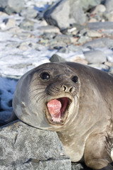 Young southern elephant seal that roars