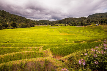rice fields on terraced-green terraced rice fields.